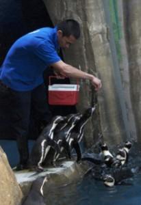 Humboldt Penguins feeding at Dubai Aquarium & Underwater Zoo.